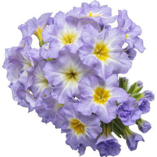 heliotropium_augusta_lavender_macro_03.jpg