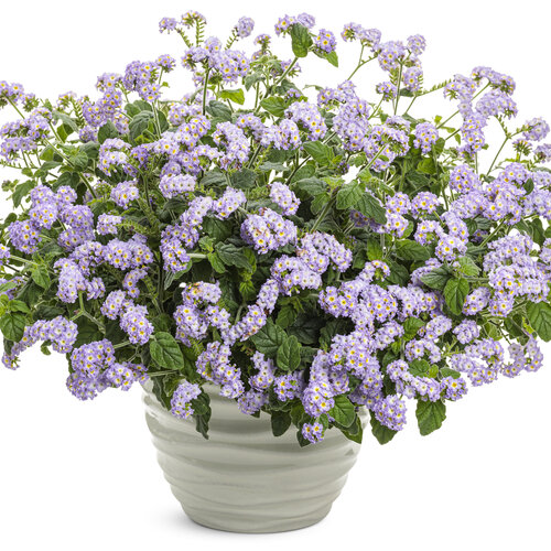 heliotropium_augusta_lavender_mono.jpg
