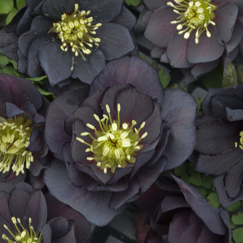 Wedding Party® Dark and Handsome - Lenten Rose - Helleborus hybrid
