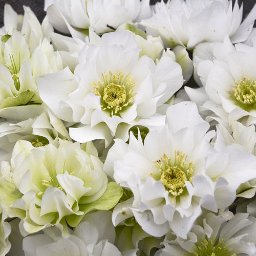 Wedding Party® Wedding Bells - Lenten Rose - Helleborus hybrid