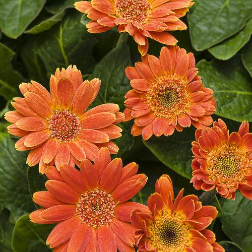 Hello! Pumpkin - Gerbera Daisy - Gerbera hybrid