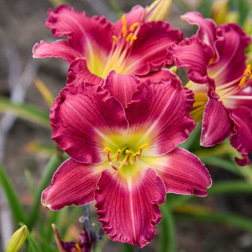 Happy Ever Appster™ 'Romantic Returns'  - Daylily - Hemerocallis hybrid