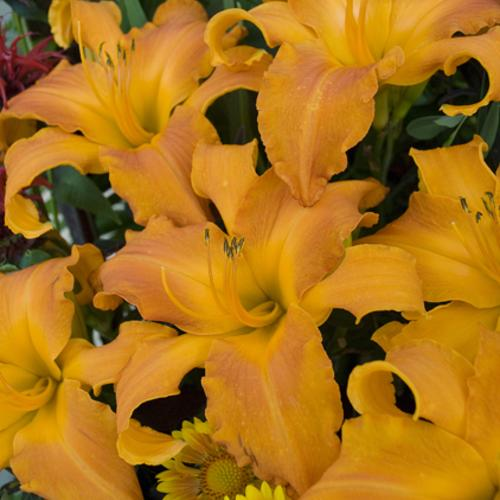 Rainbow Rhythm® Primal Scream - Daylily - Hemerocallis hybrid