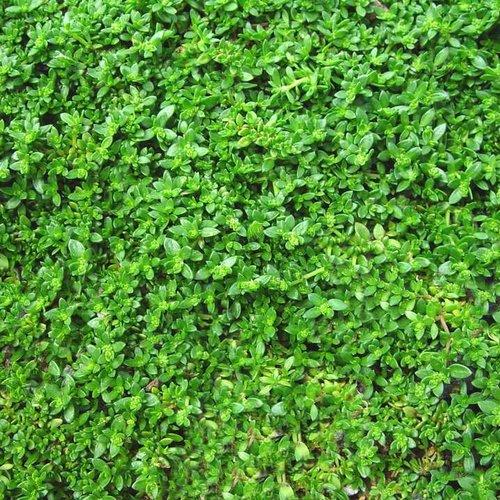 Green Carpet Rupturewort Herniaria Glabra Proven Winners