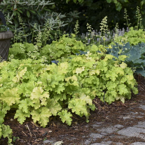 heuchera_apple_twist_apj19_3.jpg