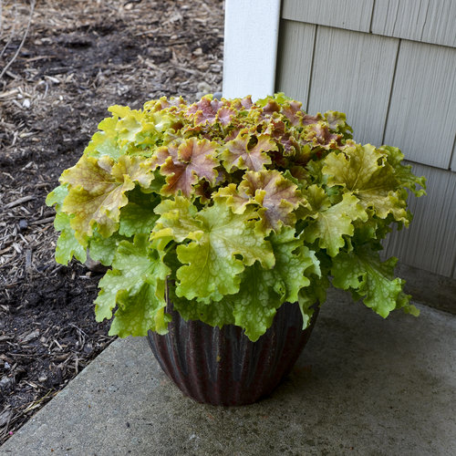 Dolce® 'Apple Twist' - Coral Bells - Heuchera hybrid