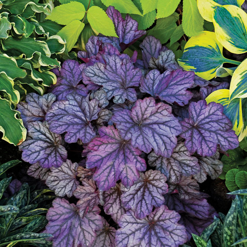 Dolce® 'Blackberry Ice' - Coral Bells - Heuchera hybrid