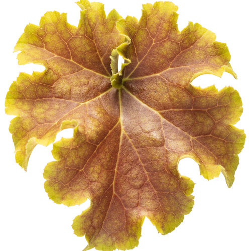 heuchera_dolce_apple_twist_01.jpg