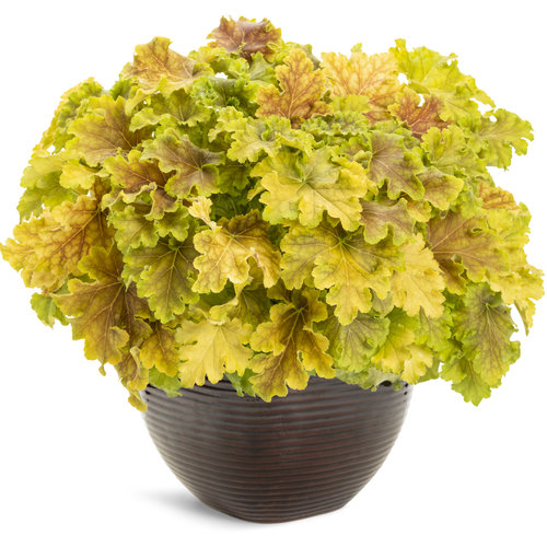 heuchera_dolcer_apple_twist.jpg