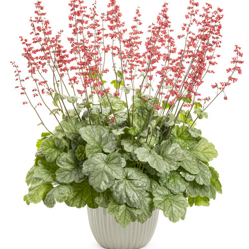 heuchera_dolcer_spearmint.jpg