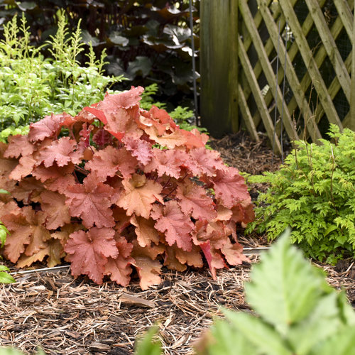 heuchera_peachberry_ice_10.jpg
