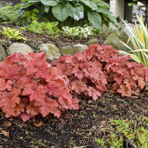 heuchera_peachberry_ice_7.jpg