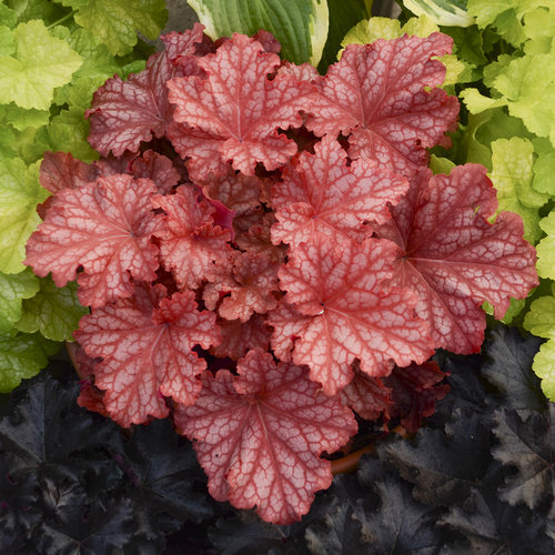 Primo® Peachberry Ice - Coral Bells - Heuchera hybrid