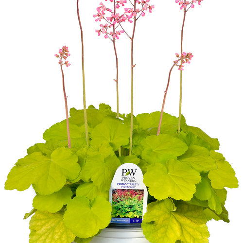 heuchera_pretty_pistachio_branded.jpg