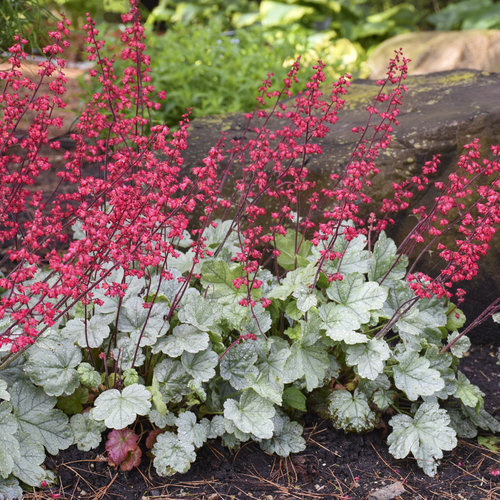 heuchera_spearmint_2.jpg