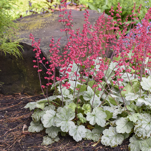 heuchera_spearmint_3.jpg