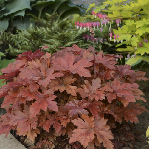 Fun and Games® 'Hopscotch' - Foamy Bells - Heucherella hybrid