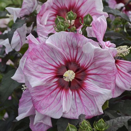 Summerific® 'Cherry Choco Latte' - Rose Mallow - Hibiscus hybrid