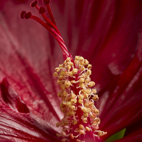 hibiscus-cranberry-crush-04.jpg