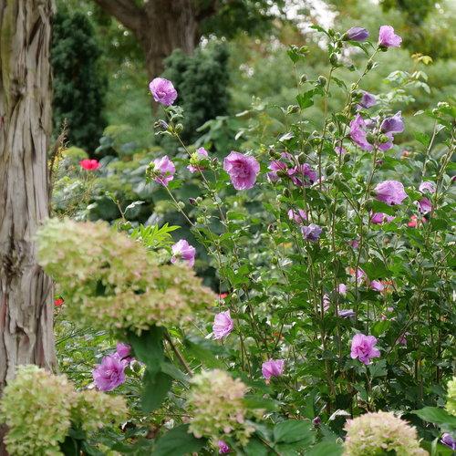 hibiscus-dark-lavender-chiffon-3.jpg