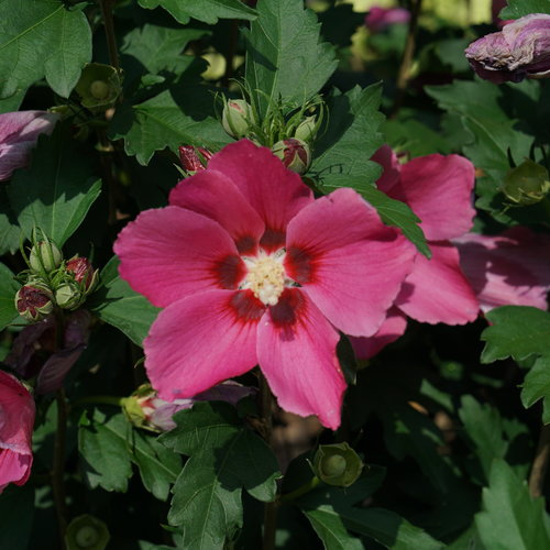 Paraplu Rouge™ - Rose of Sharon - Hibiscus syriacus