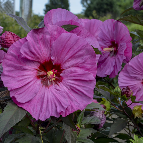 hibiscus_berry_awesome_apj17_21.jpg