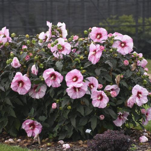 hibiscus_cherry_choco_latte_cjw18_10.jpg