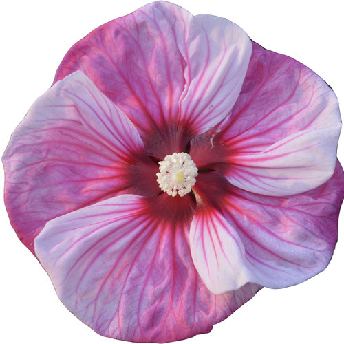 hibiscus_cherry_choco_latte_cutout.jpg