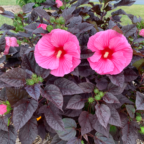 hibiscus_edge_of_night_cjw19_2.png