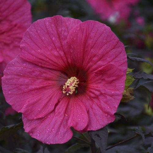 hibiscus_evening_rose_cjw18_6.jpg