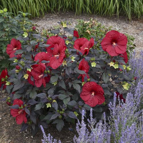 hibiscus_holy_grail_apj18_4.jpg