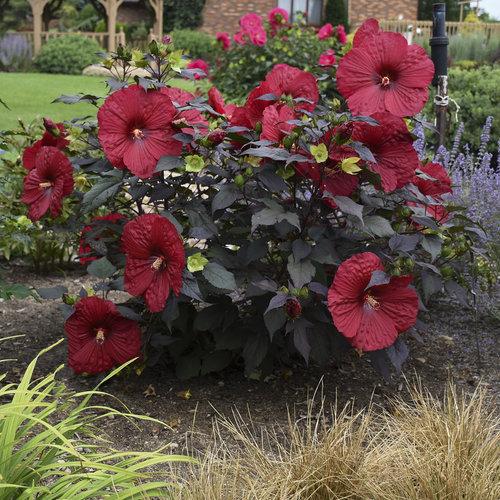hibiscus_holy_grail_apj18_5.jpg