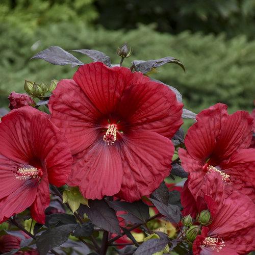 hibiscus_holy_grail_apj19_11.jpg