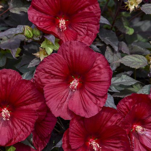 hibiscus_holy_grail_apj20_11.jpg
