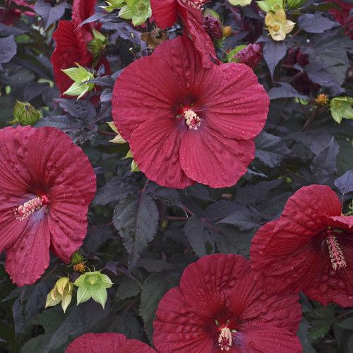 hibiscus_holy_grail_cjw18_2.jpg