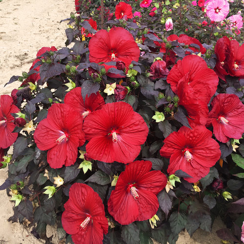 Summerific® Holy Grail - Rose Mallow - Hibiscus hybrid
