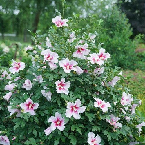 hibiscus_paraplu_pink_ink_dsc01300.jpg
