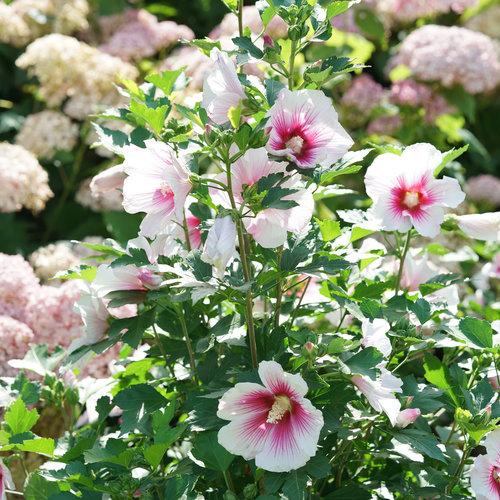 hibiscus_paraplu_pink_ink_dsc03434.jpg