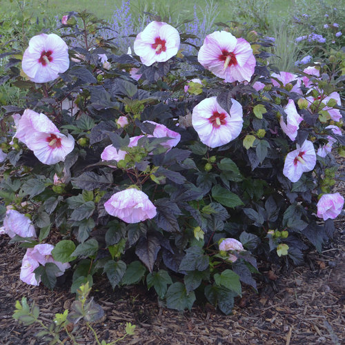 hibiscus_perfect_storm2.jpg