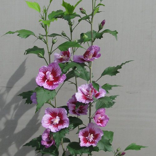 hibiscus_purple_pillar_rose_sharon_habit.jpg