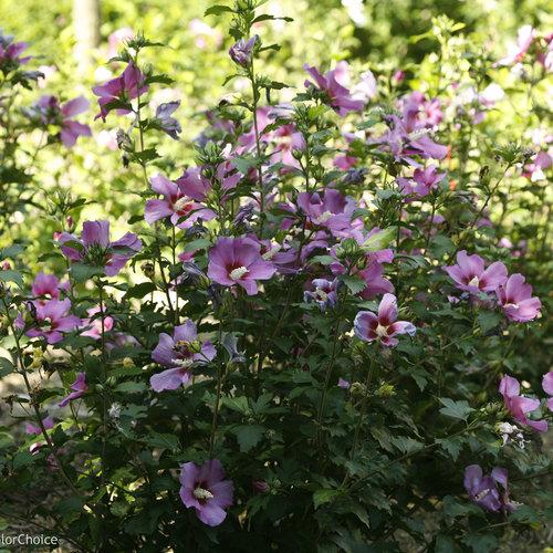 hibiscus_purple_satin_rose_sharon.jpg