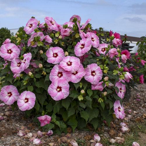 hibiscus_spinderella_apj18_2.jpg
