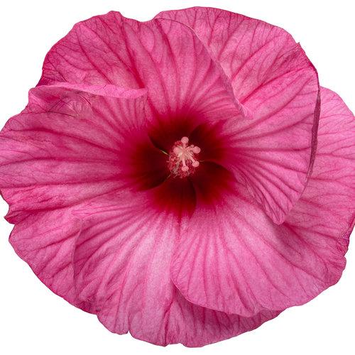 hibiscus_summerific_candy_crush_01-macro.jpg