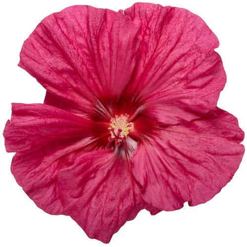 hibiscus_summerific_evening_rose_01-macro.jpg