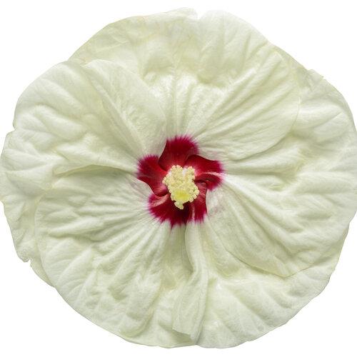 hibiscus_summerific_french_vanilla_macro_01.jpg