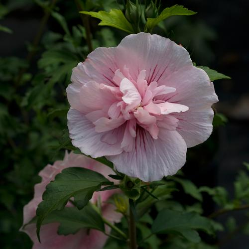 Pink Chiffon Rose Of Sharon Hibiscus Syriacus Proven Winners