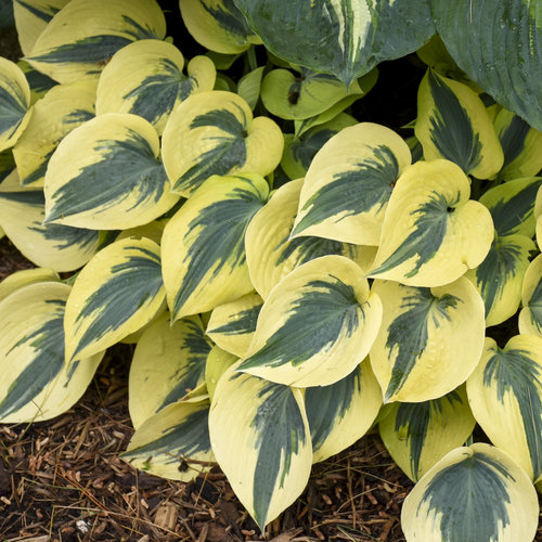 hosta_autumn_frost_apj19_15.jpg