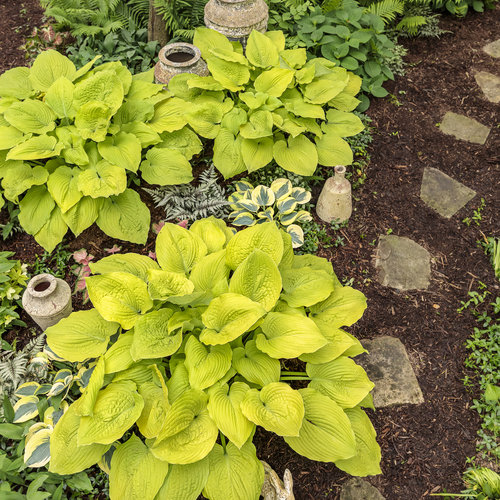 hosta_coast_to_coast_27.jpg