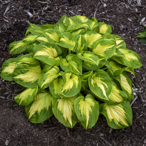 hosta_etched_glass_ppaf_cpbraf_0001.jpg