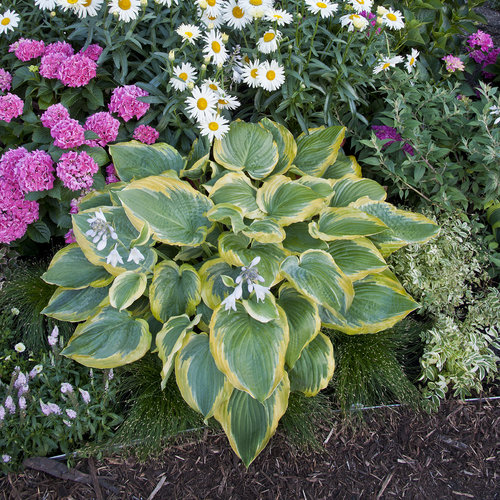 Shadowland® 'Seducer' - Hosta hybrid